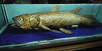Coelacanth, Latimeria chalumnae, specimen originally captured in the Comoros Islands, East Africa, in 1985, displayed in Seoul, South Korea