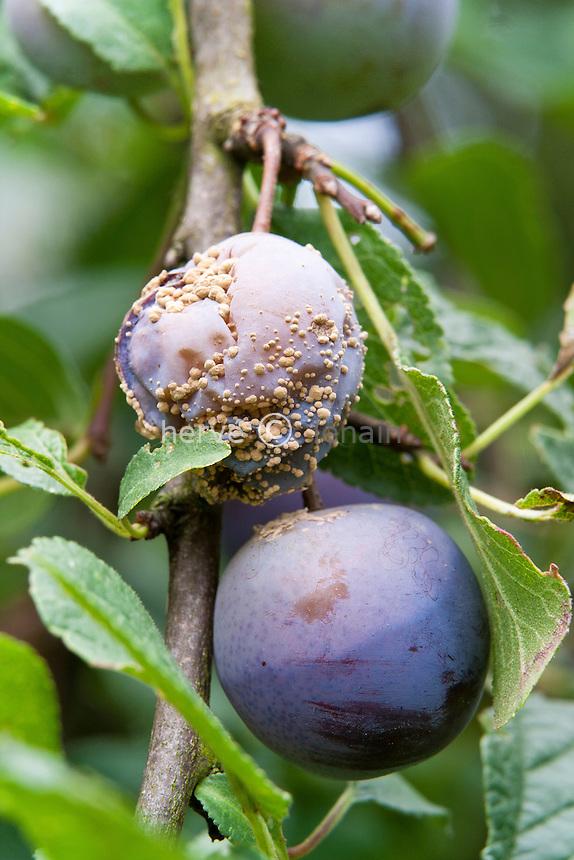 moniliose sur prune // Monilinia on plum.