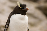 Portrait of a rockhopper penguin on West Point Island in the Falkland Islands.