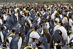 A King Penguin Colony on South Georgia, Great Britain, UK