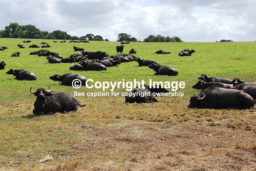 Water buffalo grazing on the organic farm owned by South African former Formula One racing driver Jody Scheckter at Laverstoke Park, Overton, Hampshire, UK, 200807050319..Copyright Image from Victor Patterson, 54 Dorchester Park, Belfast, UK, BT9 6RJ..Tel: +44 28 9066 1296.Mob: +44 7802 353836.Voicemail +44 20 8816 7153.Skype: victorpattersonbelfast.Email: victorpatterson@mac.com.Email: victorpatterson@ireland.com (back-up)..IMPORTANT: If you wish to use this image or any other of my images please go to www.victorpatterson.com and click on the Terms & Conditions. Then contact me by email or phone with the reference number(s) of the image(s) concerned.