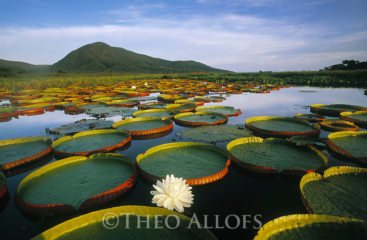 Victoria Regia Water Lily and Lily Pads; Pantanal, Brazil