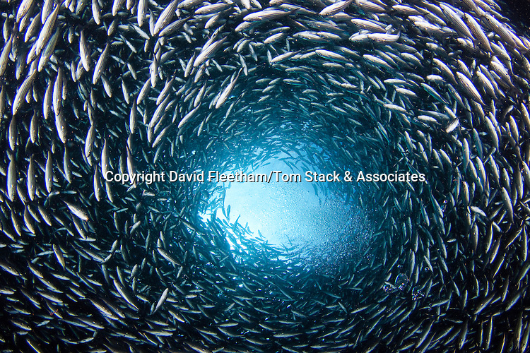 A school of black striped salema, Xenocys jessiae (endemic). Galapagos Islands, Equador.
