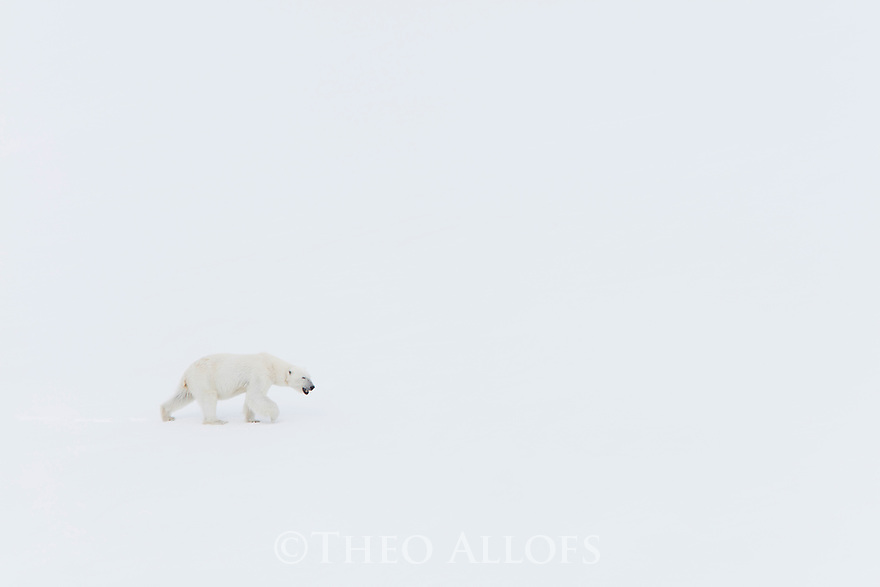 Norway, Svalbard, polar bear walking in snow
