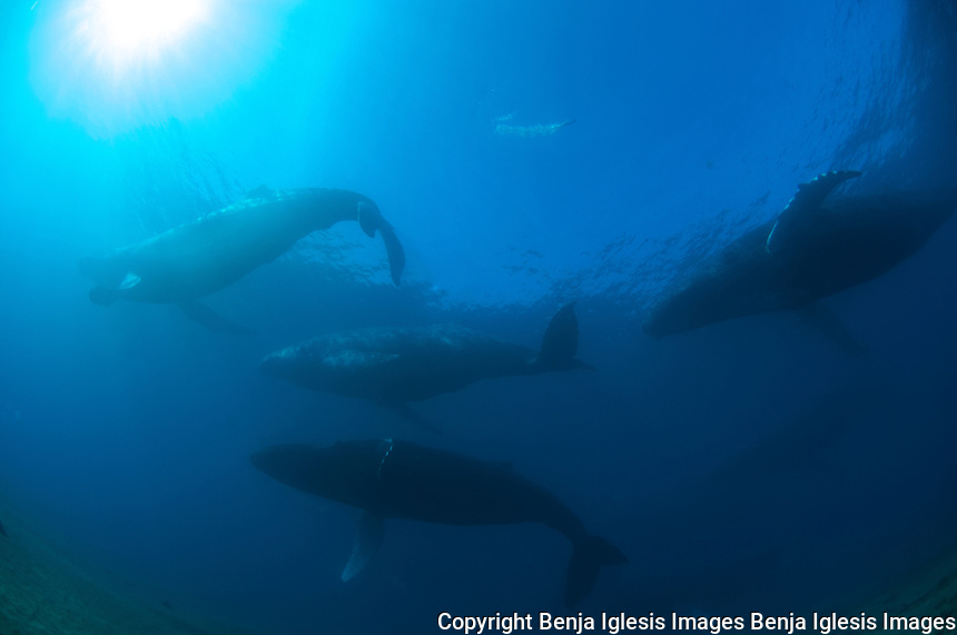 Whales swimming underwater in the coast of Maui. Whales underwater around the coast of Maui Hawaii,this photos where taken by Benja Iglesis,photographer based in Maui Hawaii,who had shot photos around the world for the past 24 years.