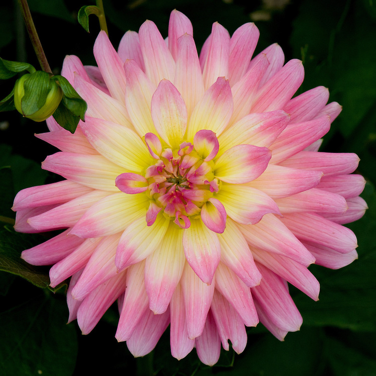 Dahlia 'Melody Gipsy', mid August.