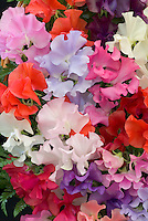 Sweetpeas Spencer Mixed flowers in red, blue, cream, white, pink, lavender