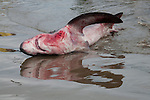 bleeding shark on the fish market of puerto lopez ecuador and its reflection in the water