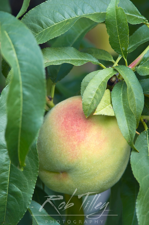 Canada, BC, Osoyos, Peacch Ripe for Harvest