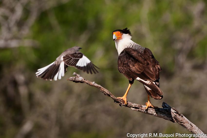 Crested Caracara with persistent  Mockingbird