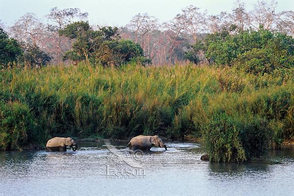Asian elephant or Indian elephant (Elephas maximus) wading in back waters of the Brahmaputra River, Kaziranga National Park, India.