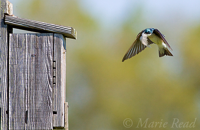 Tree Swallow (Tachycineta bicolor)  bringing feather to its nestbox as nest lining, Ithaca, New York, USA