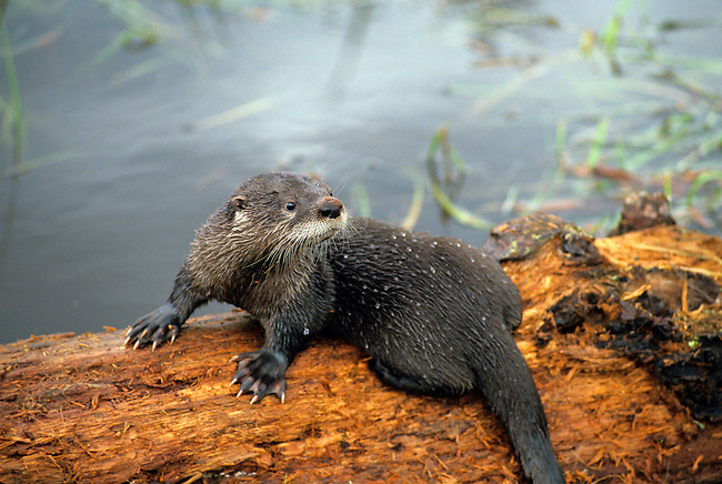 American River Otter, Lutra canadensis, Mustelidae Family, Controlled Conditions, Montana, USA, North America