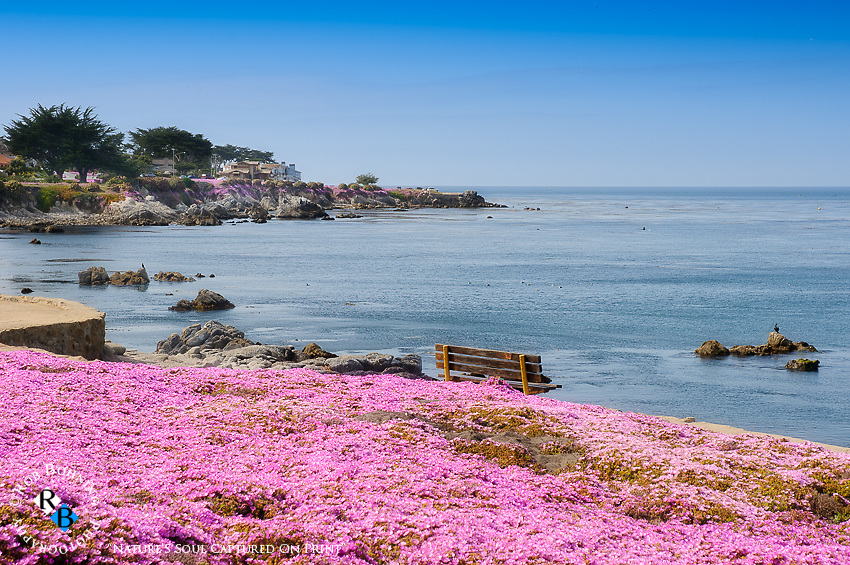 Pink Ice Plant blankets the pristine coastline of Pacific Grove, California