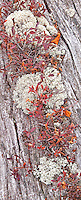 Lichens and wild blueberry grow in the cracks of an aold tree trunk at Kingston Plains next to Pictured Rocks National Lakeshore, Alger County, Michigan