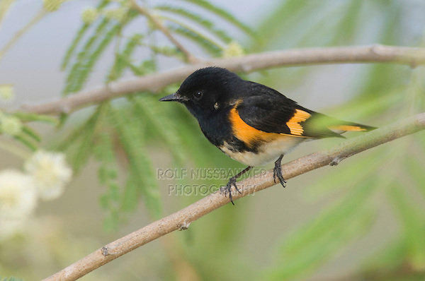 American Redstart, Setophaga ruticilla, male, South Padre Island, Texas, USA, May 2005