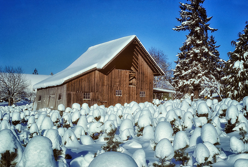 Snow covered christmas trees and barn. Alpine, Oregon.