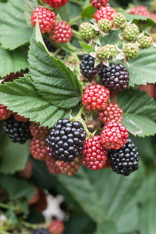 Blackberry 'Chester', early September. A thornless, late-season variety bred in Maryland, USA.