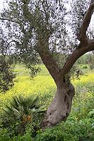 Olivenbaum, Oliven-Baum, Olive, Ölbaum, auf Sizilien, Italien, Olea europaea, Olive, Olivier