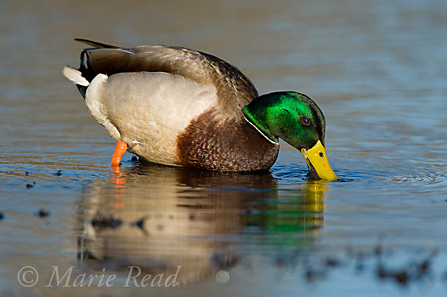 Mallard (Anas platyrhynchos), male foraging in shallow water by dabbling with bill, Orange County, California, USA
