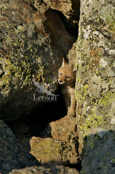 Wild Coyotes (Canis latrans) pup squeezes out of entrance to den (under large boulder at right).  Western U.S., June.