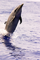 Dolphin cruises alongside a charter boat just long enough for me to take its picture.  Island of Hawaii.