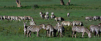699376024p panorama of a wild small herd of burchells zebras equus burchelli grazing and interacting on the veldt floor of ngorogoro crater national park in tanzania