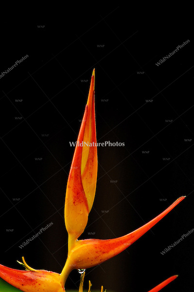 A Heliconia in bloom after an afternoon rain