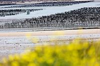 France, Côte d'Armor (22), Côte d'Emeraude, Saint-Jacut-de-la-Mer, Depuis la Pointe du Chevet vue sur les bouchots dans la Baie de l'Arguenon // France, Cote d'Armor, Cote d'Emeraude (Emerald Cost), Saint Jacut de la Mer, from the Pointe du chevet:  mussel in the Bay of Arguenon