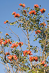 Grand Bahama Island, The Bahamas; an African Tulip Tree (Spathodea campanulata) with red flowers against a blue sky