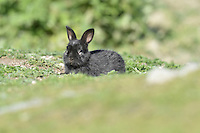 Rabbit - Black Form Oryctolagus cuniculus Length 40-55cm Familiar, long-eared social burrowing mammal. Lives in tunnel complexes called warrens. Mainly nocturnal or crepuscular; diet is vegetarian. Adult has mainly greyish brown fur with rufous nape and pale greyish underparts. Long ears have rounded, brown tips and tail is dark above and white below. Legs are long but relatively shorter than those of Brown Hare. squeals loudly in alarm. Introduced to Britain but now widespread and common in grassland, scrub and on roadside verges.