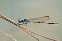 338400018 a wild male blue-ringed damselfly argia sedula perches on a dried grass stem over a stream at santa ana national wildlife refuge in the rio grande valley of south texas united states