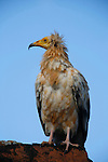 .The egyptian vulture ((Neophron percnopterus) is about 60 cm long, with a 155 cm wingspan. Known as the municipal bird as it feeds pn the island'rubbish and especially dead animals. The population on Socotra is the largest in the middle East. Socotra Island. Yemen.