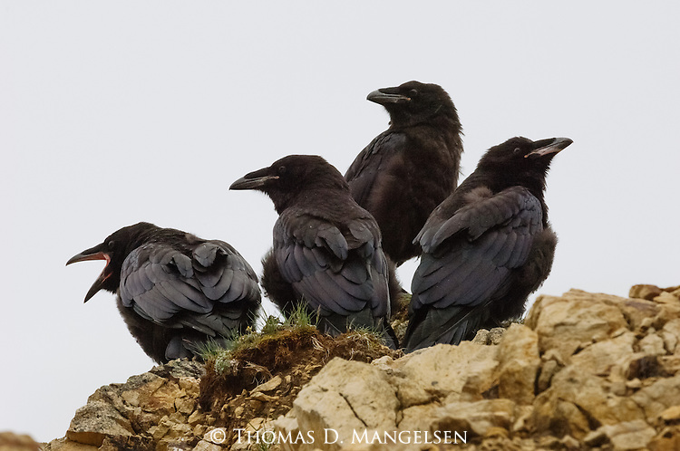 A group of fledgling ravens perch on an overlook above Polychrome Pass after their first flight. Denali National Park, Alaska.