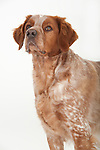 Brittany Dog, Standing, Head Study, Studio, White Background
