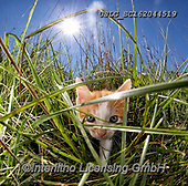 REALISTIC ANIMALS, REALISTISCHE TIERE, ANIMALES REALISTICOS, cats, paintings+++++,USLGSC162044519,#A#, EVERYDAY ,photos,fotos,pounce,cat,cats,kitten,kittens,Seth