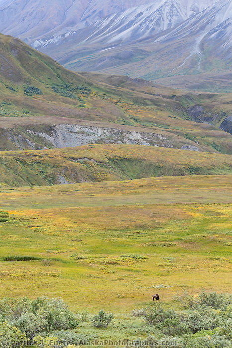 Grizzly bear walks on the tundra in Denali National Park, Alaska.