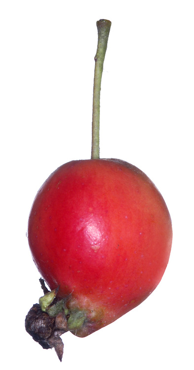 Similar to Wild Crab M. sylvestris Malus 'John Downie' is a popular cultivar. It has rather narrow leaves and fruit that mature bright reddish orange. Unlike Wild Crab, the fruit and edible and delicious; they still make good jelly although without the same degree of sourness.
