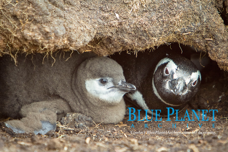 Magellanic penguin, Spheniscus magellanicus, Falkland Islands