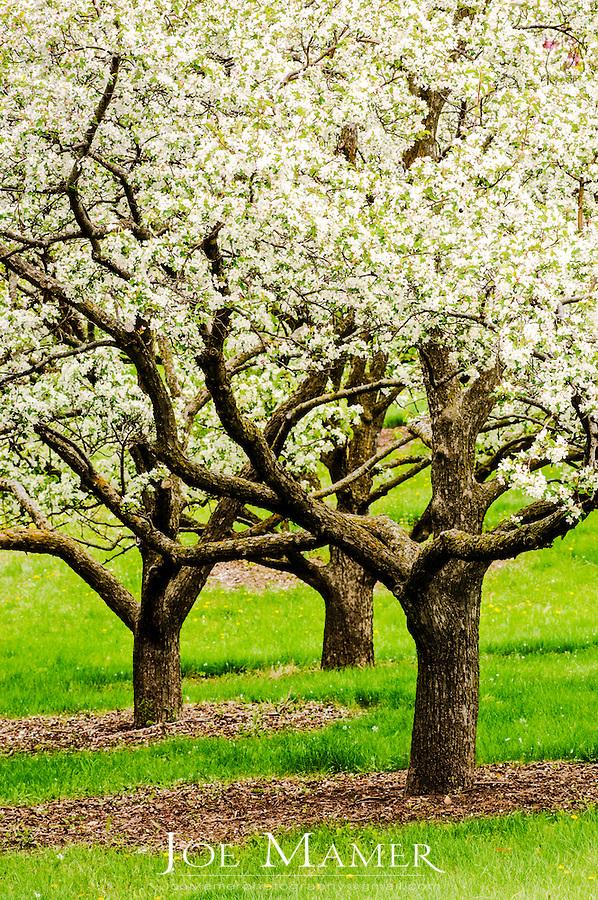 Three apple trees in bloom at the University of Minnesota Landscape Arboretum in spring.