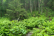Ferns during the early summer months on the side of the Skookumchuck Trail in the White Mountains, New Hampshire USA.