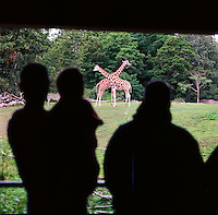 People look at giraffes in the African Savanah exhibit at the Woodland Park Zoo. Giraffes live in loosely bound, scattered herds of 10-20 (up to 100).