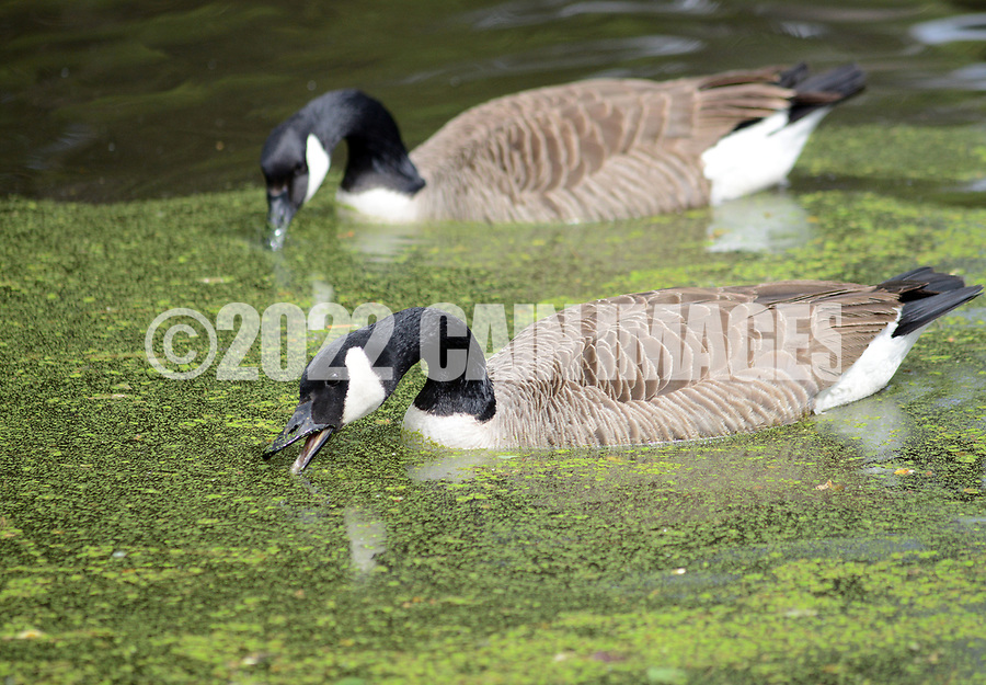 Geese swims in the lake and eat pollen during a community cleanup of Lake Afton to provide some relief for the algae-plagued and mucky man made lake Saturday, May 6, 2017 at Lake Afton in Yardley, Pennsylvania. (WILLIAM THOMAS CAIN / For The Philadelphia Inquirer)