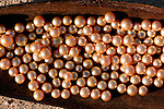 Jewelmer Pearlfarm, a handfull of golden pearls. A perfect one can catch up to 10.000 US$