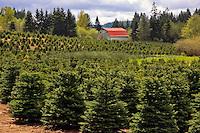 Christmas tree farm in Marion County, Oregon
