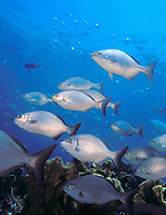 schooling Bermuda or yellow sea chub, Kyphosus sectatrix = sectator or incisor, Minnor Caves, Key Largo, Florida Keys National Marine Sanctuary, Atlantic Ocean.