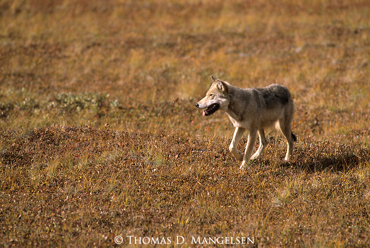Gray Wolf walking across tundra in Denali National Park.