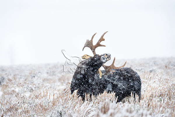 Bull Moose scratching back with antlers, sage flats during snowstorm.  Grand Teton National Park, Wyoming.   Snow.  Winter.