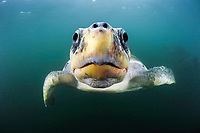 olive ridley sea turtles, Lepidochelys olivacea, female swimming from the open ocean towards the beach, note nostrils, eyes, Ostional, Costa Rica, Pacific Ocean