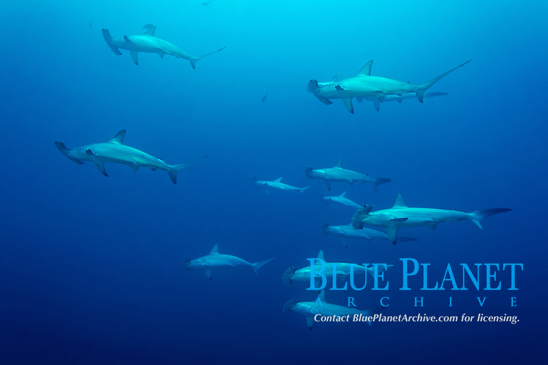 Swarm, group of Scalloped Hammerheads (Sphyrna lewini) swim in the open sea, Red Sea, Egypt, Africa